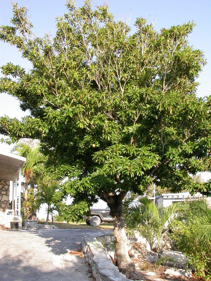 Sapodilla_tree